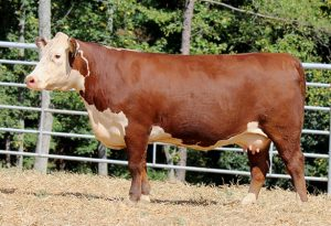 A426 Cow | Bent Tree Farms 2019 Spring Cattle Auction - Photo by Tom Coley
