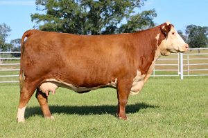 Bent Tree Farms - 2019 Spring Cattle Auction | Hereford Cow-Calf Pair for Sale - 014Z