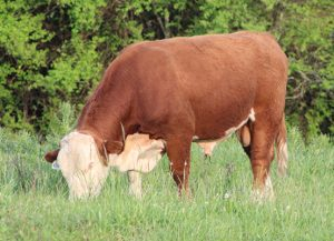 Bull 6187 - Spring calves sired by him | Bent Tree Farms 2019 Spring Cattle Auction