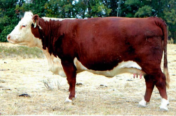 Cow 1029 bred for fall calf | Bent Tree Farms 2019 Spring Cattle Auction